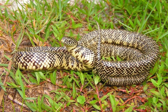 Brooks' (South Florida) King Snake Lampropeltis getula brooksi Miami-Dade County, Florida