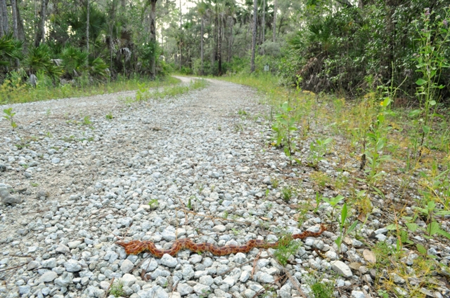 Devil's Garden corn snake Elaphe guttata guttata crosses road