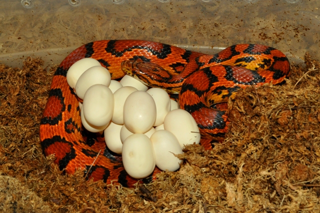 how to get rid of snake eggs