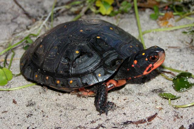 Polk Spotted Turtle