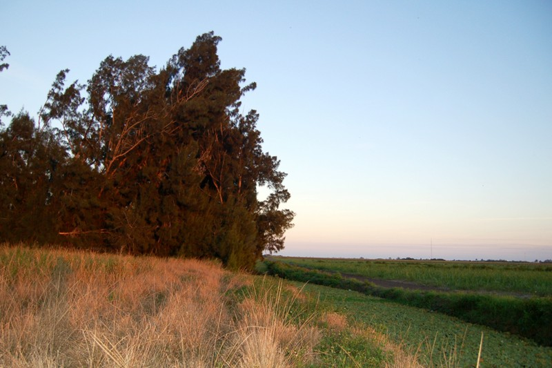 Cane Field Tree Island