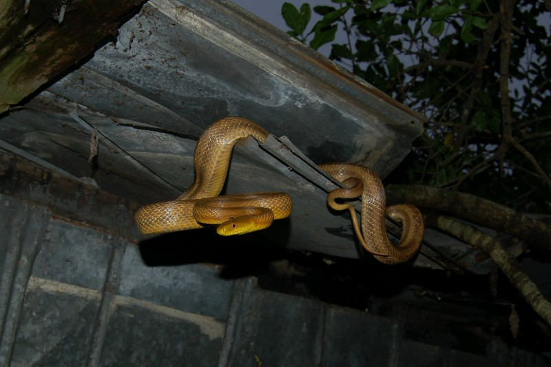 South Florida Yellow Rat Snake Elaphe obsoleta quadrivittata In Shed