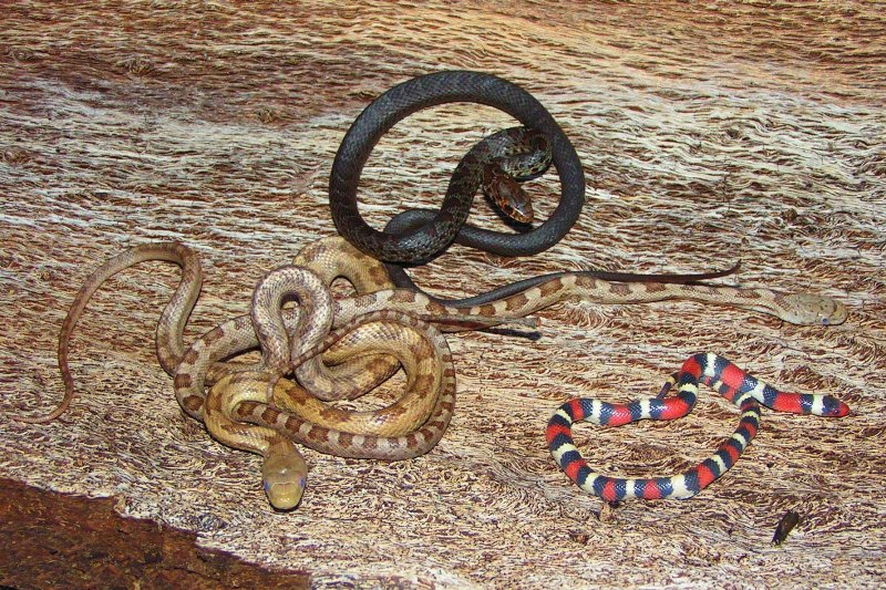 South Florida Yellow Rat Snakes Everglades Racer Scarlet King Snake