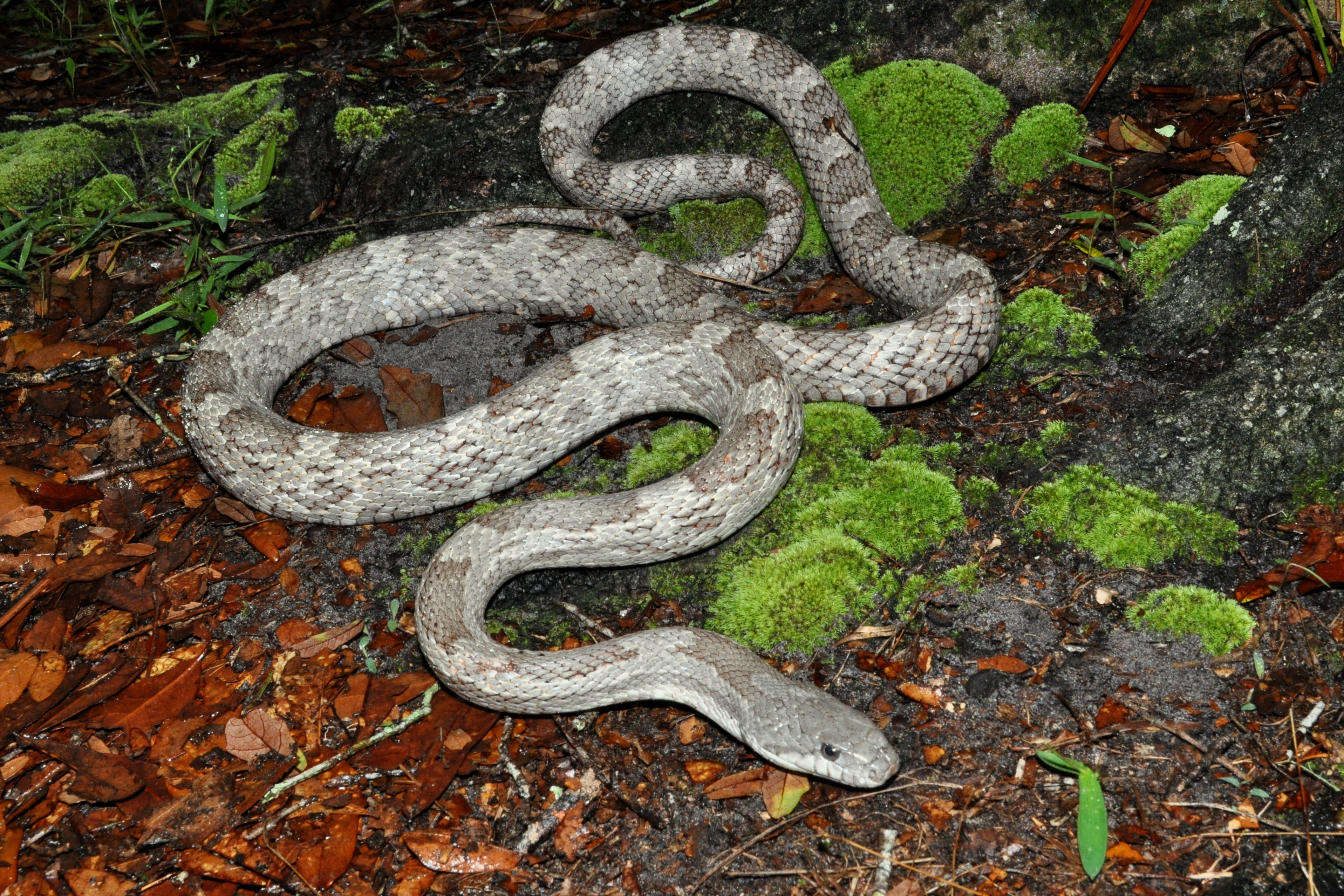 Florida Oak Snake http://www.sunshineserpents.com/Captive%20Breeding%20Projects/White%20Oak%20Gray%20Rat%20Snake.htm